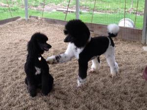 FLASH WITH A FRIENDS POODLE RAVEN FROM A PATCHWORK OF POODLES, SALINVILLE OH