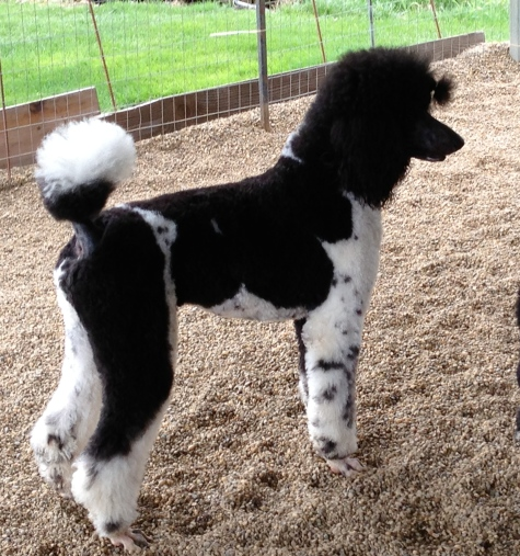 Past Puppies 2016 | Chapin's AKC Standard Poodles of Northeast Ohio