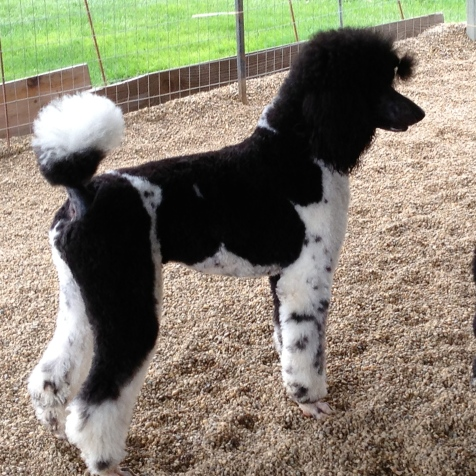 Flash our Sire: Chapin's Flashy Royal Tux. Flash is 27in tall and is 75 pounds.
