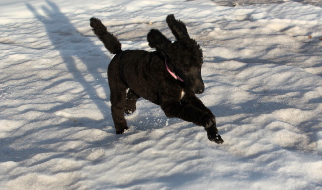 Millie romping in the snow.
