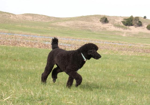 Millie Compliments os Solo Standard Poodles.