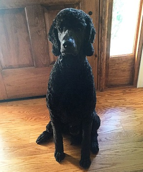 ONYX: at home in Michigan. Onyx weight 75.5 pounds and is just over 1 year old. Thank You for the picture. Susan.
