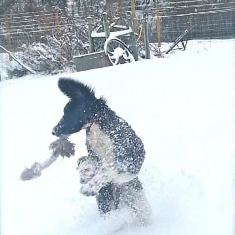 Mia playing in the new snow at home in Oregon.