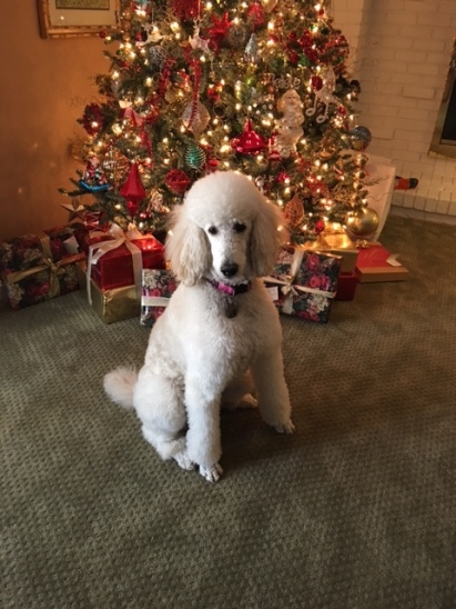 """Merry Christmas, Charlene and Terry Our girl has brought us so much joy and healing. She is just the sweetest! Diamond's behavior seems to have transferred to her little Scottie sister Bella👍🏻. It's so fun listening to the two of them """"talk""""!! Diamond has quite an opinion on everything. We feel so blessed to have found you - responsible for our girl. Have a blessed day. You have blessed our year! Merry Christmas. Hugs, Angela,David, Diamond and Bella Mia"""
