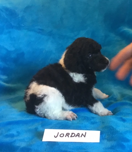 Jordan is a Tuxedo Parti Poodle., He is 3 weeks old. Available: his price is $2,000.00 Limited Registration.
