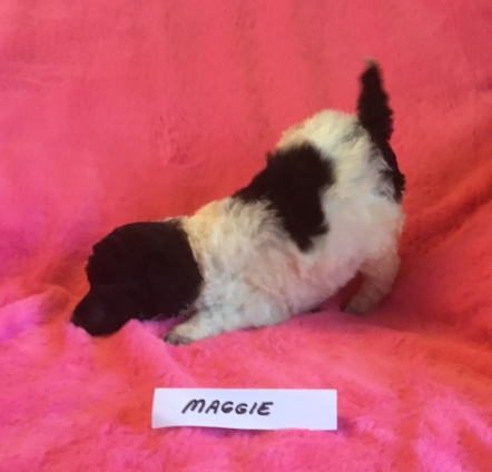 Maggie is a Parti Poodle Puppy. She is 3 weeks old. Her Price is: $1,800.00 PENDING