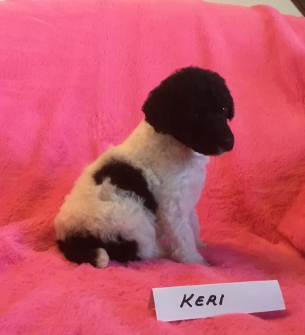 Keri is a Parti Poodle Puppy. She is 3 weeks old. Her Price is $1,800.00 PENDING