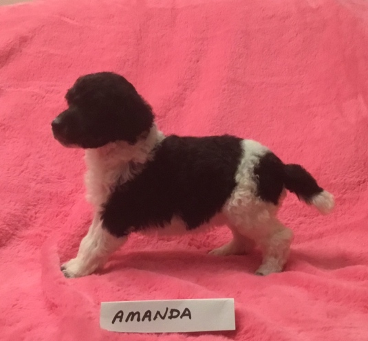 Amanda is a Tuxedo Parti Poodle. She is 3 weeks old. Price is: $2,000.00. PENDING