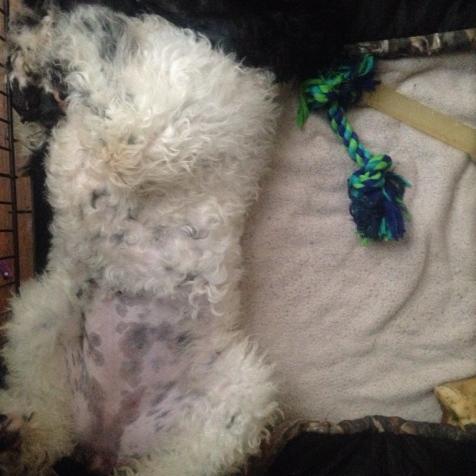 Tulluhla doing Happy dog sleeping in her crate.