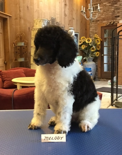 Past Puppies: Born July 12, 2017 | Chapin's AKC Standard Poodles of
